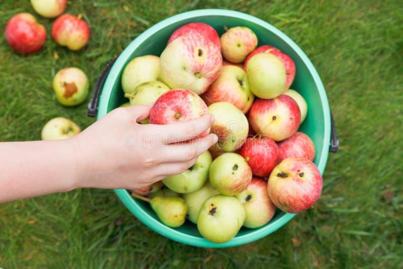 Flickan samlar mogna äpplen i hink i fruktträdgård royaltyfri foto
