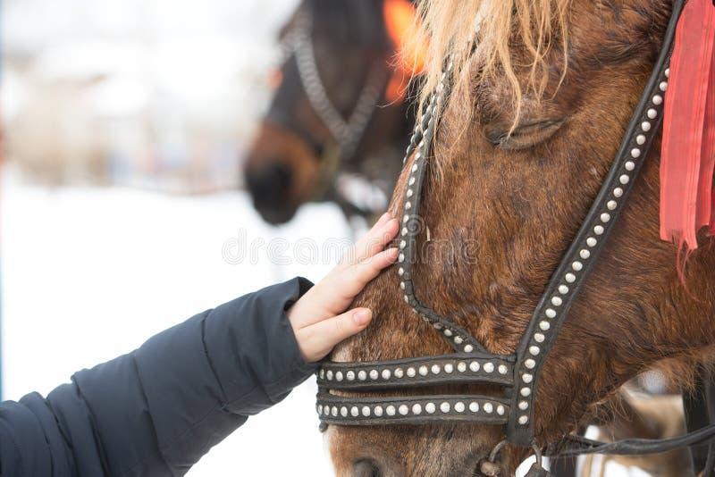 Flickan trycker på framsidan av hästen med hans hand hilds hand slår en hästs framsida i en tygel royaltyfria bilder