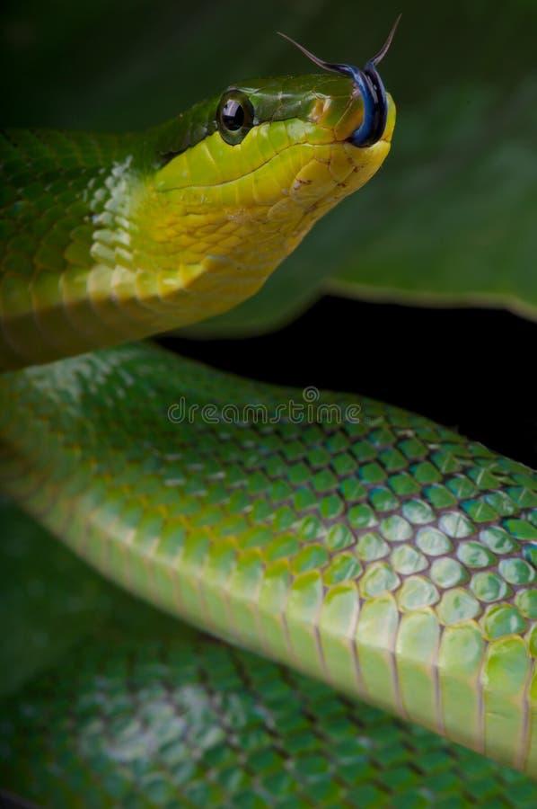 flicking зеленый язык ratsnake стоковые фото