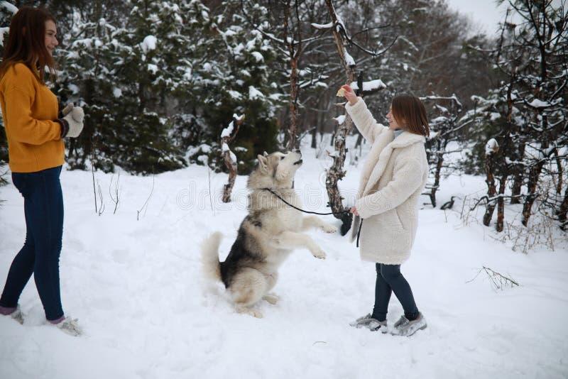 Flickor spelar med den alaskabo malamuten för hunden, och mata honom för gå arkivbilder