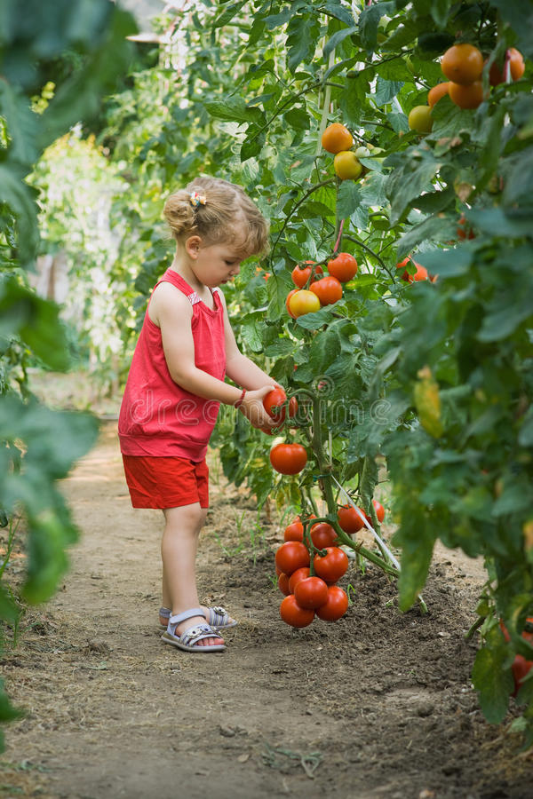 flickor valde tomater arkivbild