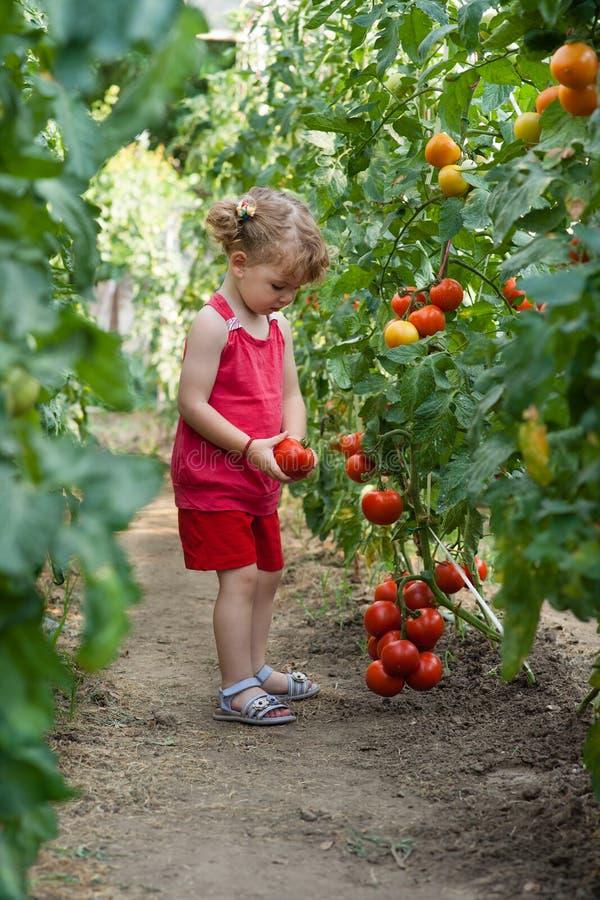 Flickor valde tomater fotografering för bildbyråer