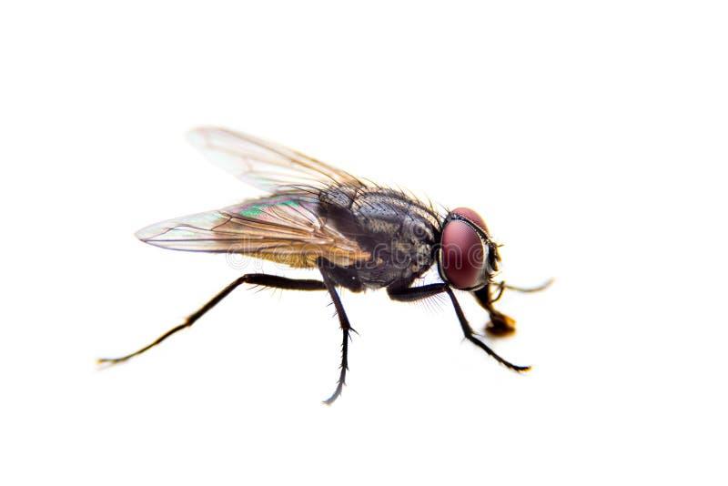 Flie su fondo bianco Fine in su fotografia stock