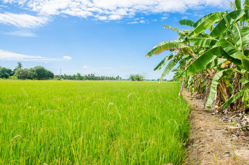 Flied rice blue sky stock photography
