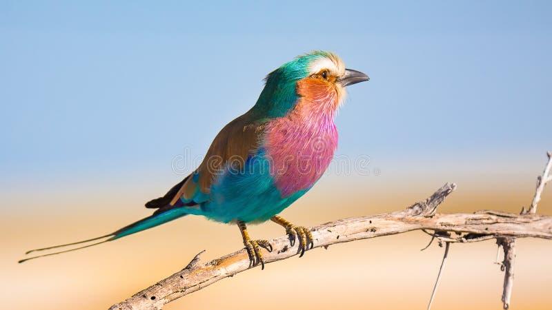 Flieder breasted den bunten Vogel der Rolle, der auf dem Baumast steht stockbild