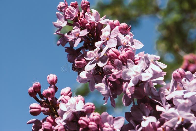 flieder Fliedern, Syringa oder Spritze Buntes purpurrotes Fliedern blosso lizenzfreies stockbild