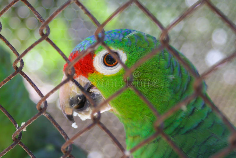 Flieder-gekrönter Amazonas stockfotos