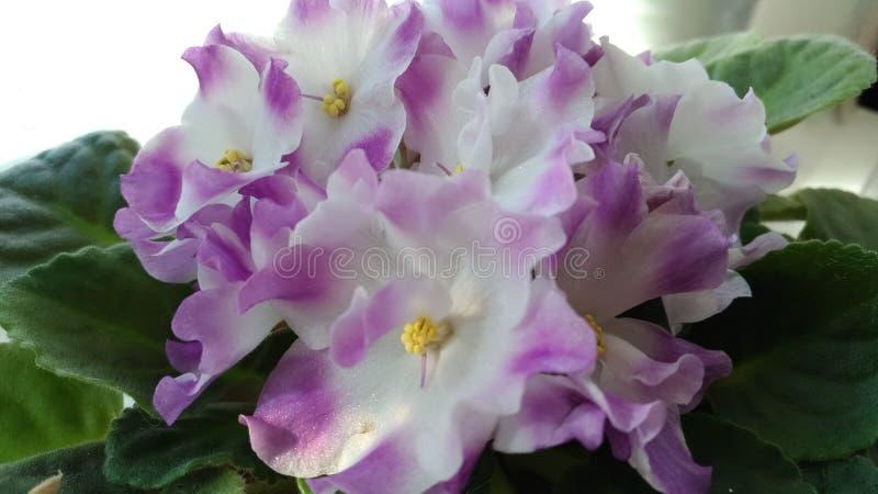 Flieder-weißes Blumenraumveilchen auf dem Fenster/ lizenzfreie stockbilder