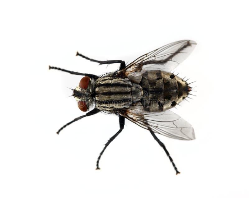 Fliege lizenzfreie stockfotos