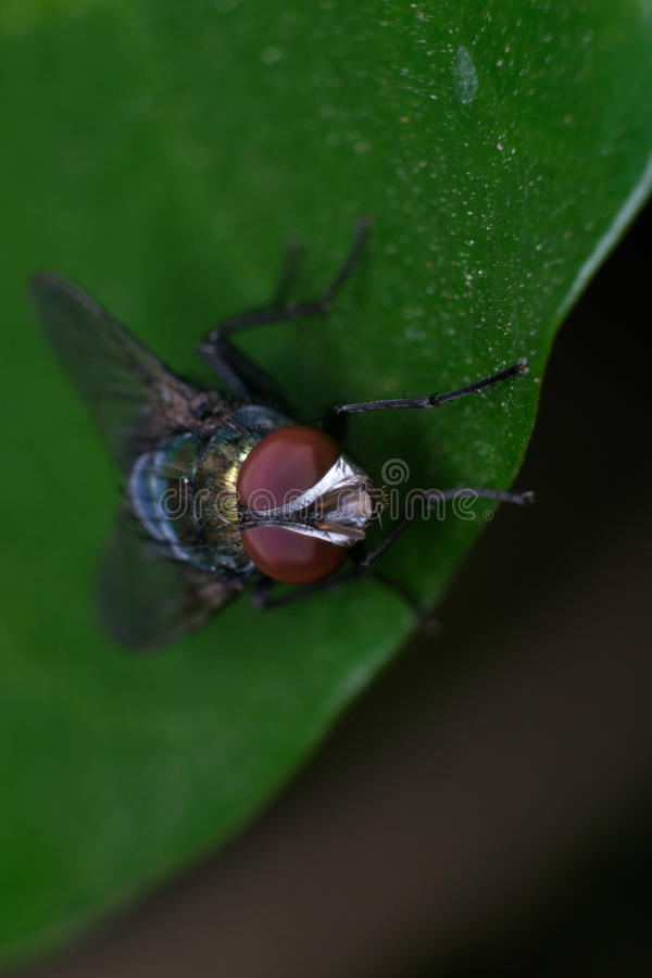 Fliege auf dem Blatt stockbild
