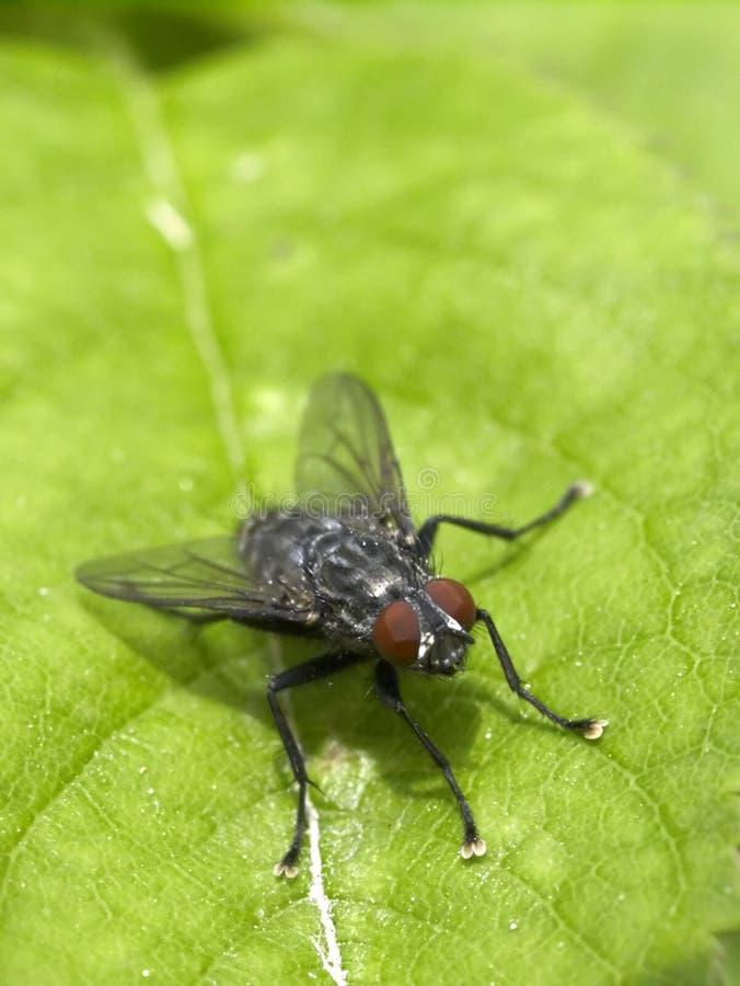 Fliege auf einem Blatt lizenzfreie stockfotografie