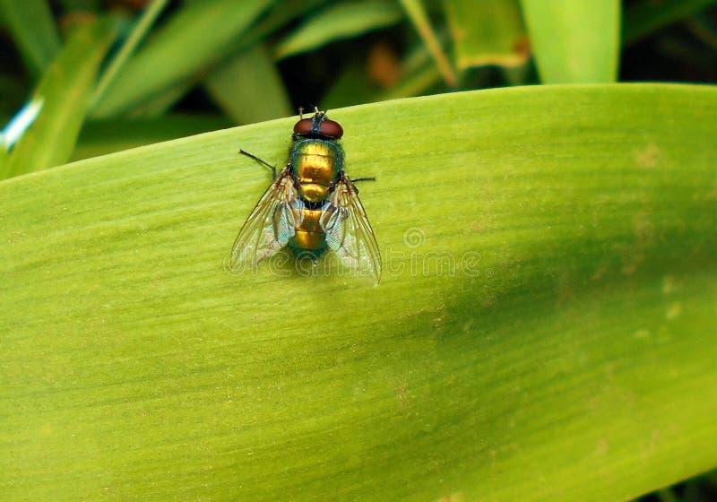 Fliege auf hellgr?nem Blatt lizenzfreie stockfotografie