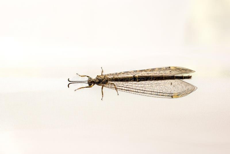 Fliege, die auf Fenstervorhang stillsteht lizenzfreies stockfoto
