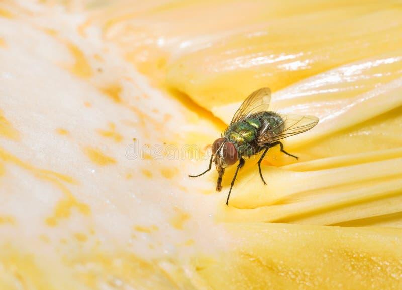 Fliege, die Bonbon saugt stockfoto