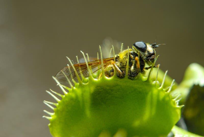 Fliege gegessen durch Fleisch fressende Anlage lizenzfreie stockfotografie
