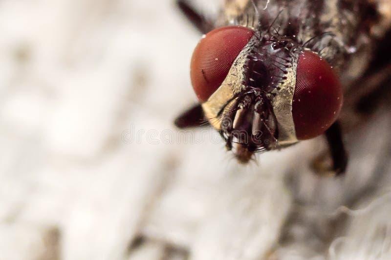 Fliege ` s Gesicht stockfoto