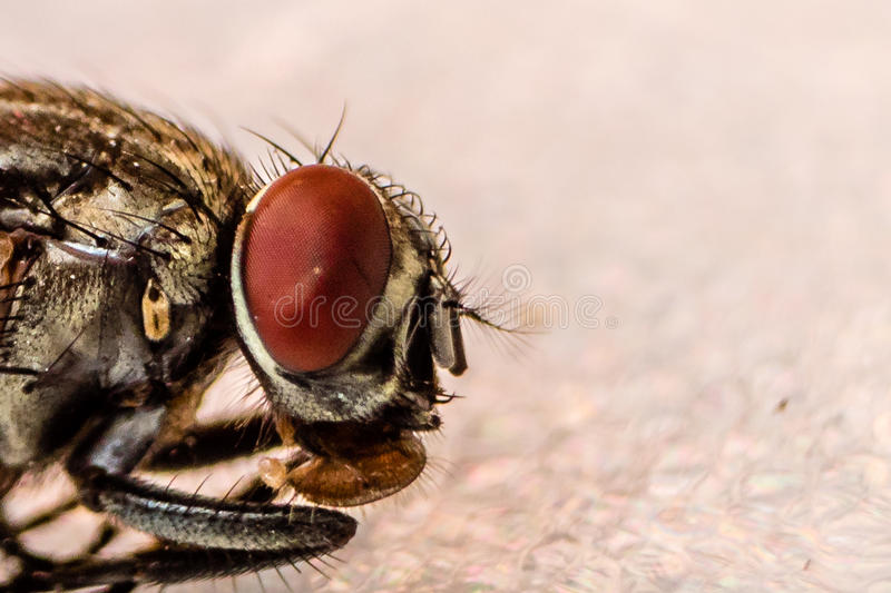 Fliege ` s Kopf stockfoto