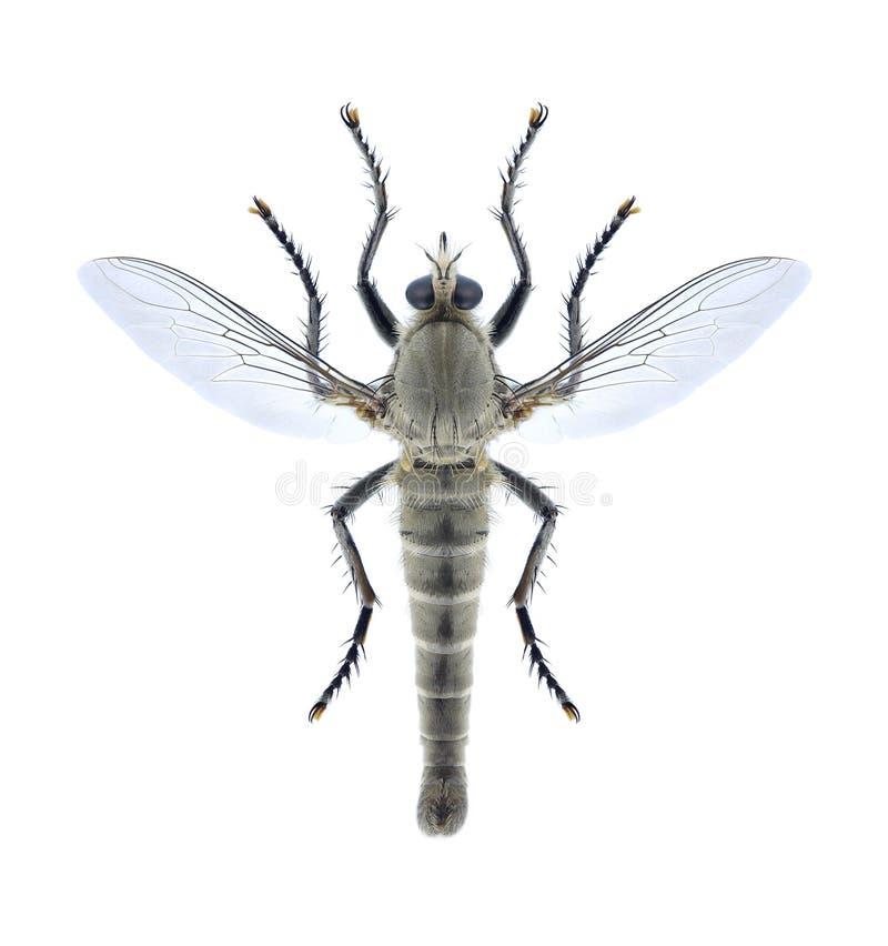 Fliege Satanas-gigas stockbilder