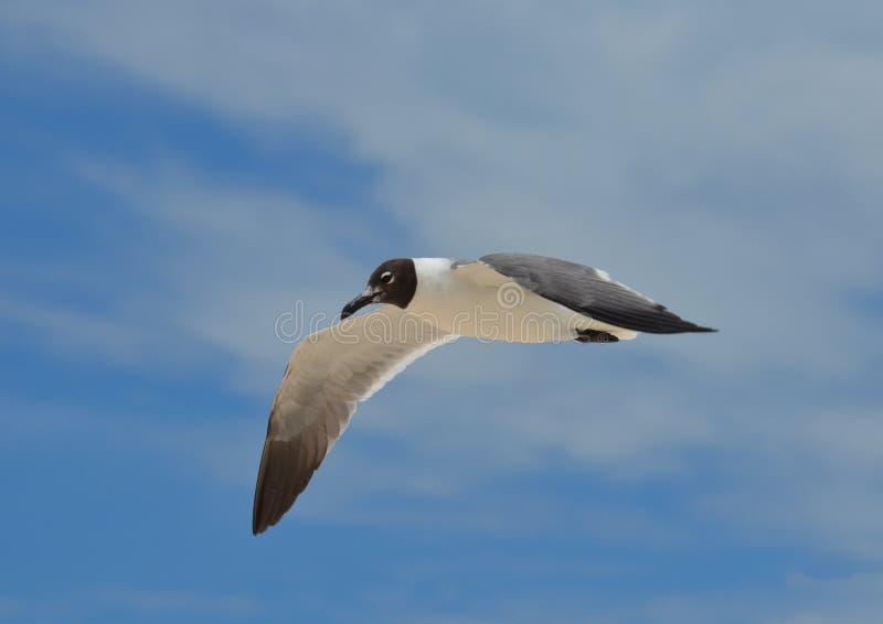 Fliegen-Aztekenmöwe in den bewölkten blauen Himmeln stockfotos