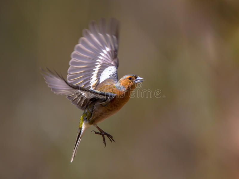 Fliegen Chaffinch lizenzfreie stockfotos