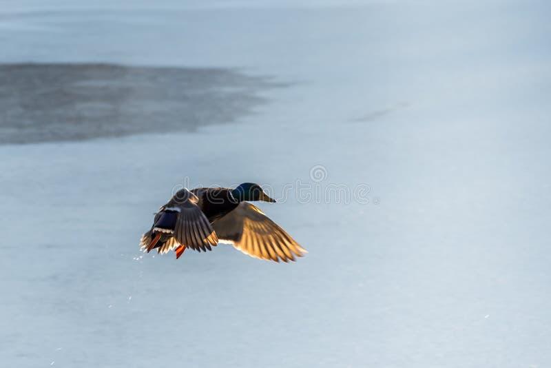 Fliegen Drake Mallard über der Wasseroberfläche stockfoto