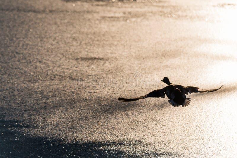 Fliegen Drake Mallard über der Wasseroberfläche stockbild