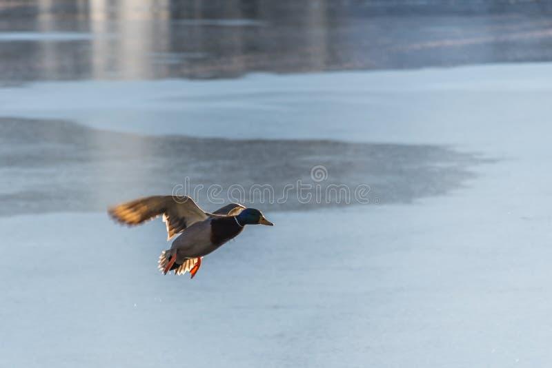 Fliegen Drake Mallard über der Wasseroberfläche stockfotografie