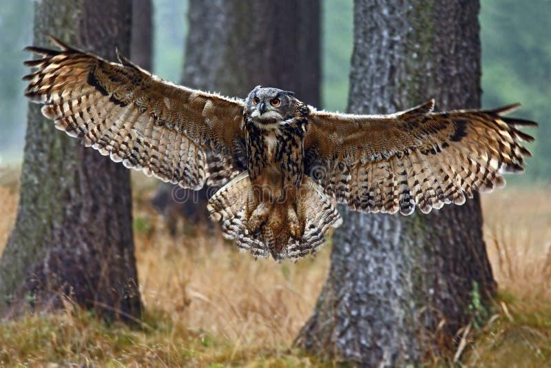 Fliegen-Eurasier Eagle Owl mit offenen Flügeln im Waldlebensraum mit Bäumen, Weitwinkelobjektivfoto lizenzfreies stockbild