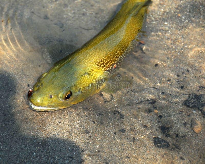 Fliegen-Fischen stockfoto