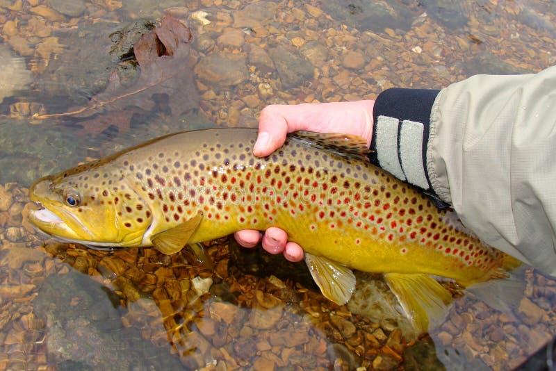 Fliegen-Fischen, große bunte Brown-Forelle freigebend lizenzfreie stockbilder