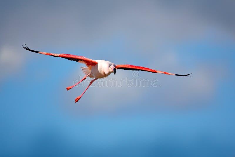 Fliegen-Flamingo, Phoenicopterus-ruber, rosa großer Vogel mit klarem blauem Himmel, Camargue, Frankreich Szene der Aktions-wild l lizenzfreies stockbild