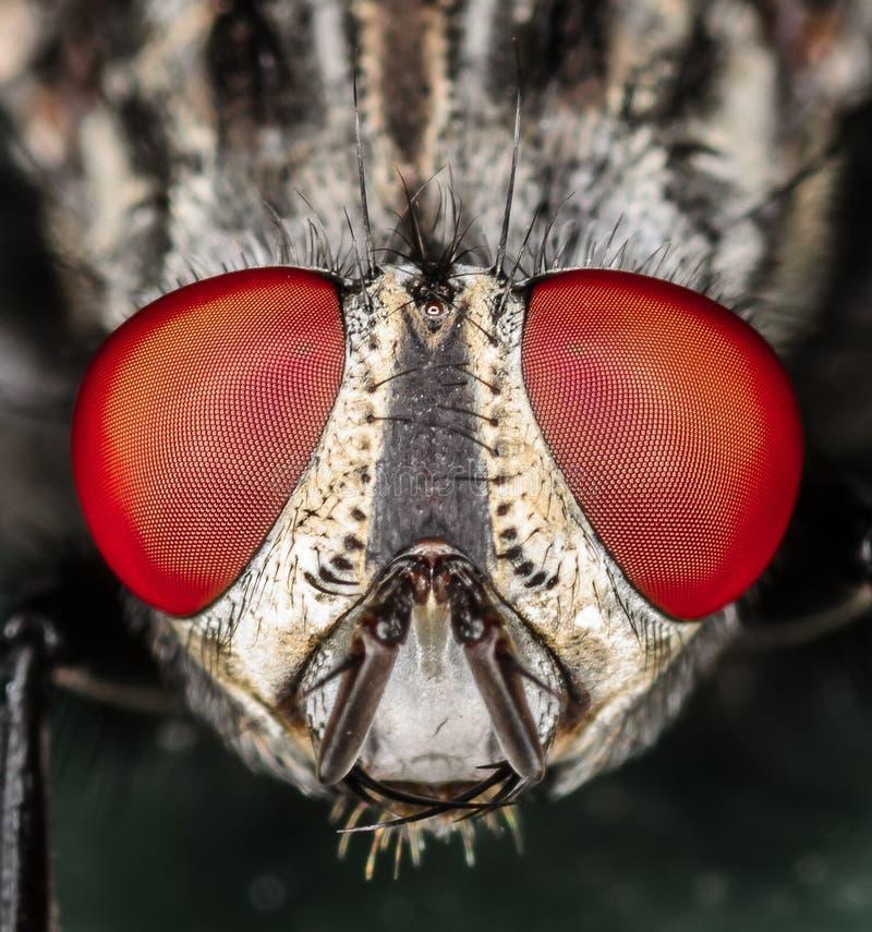 Fliegen-Kopf-und Augen-Makronahaufnahme stockfotografie