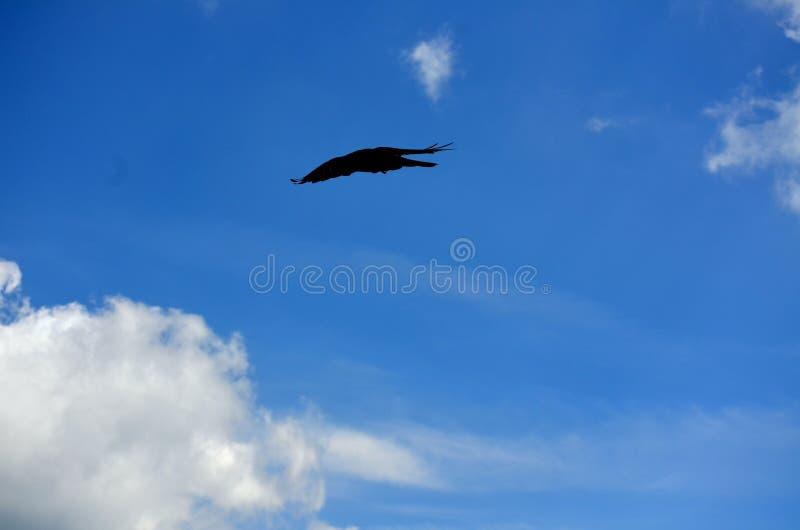 Fliegen-Krähe zwischen Himmel und Erde stockfoto