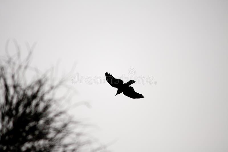 Fliegen-Krähen-Schattenbild lizenzfreies stockbild