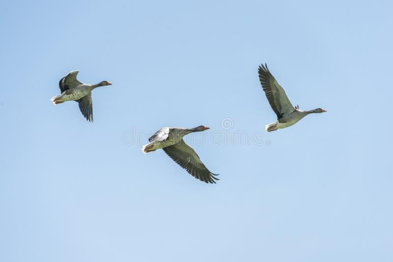 Fliegen mit drei graues Gänsen stockbilder