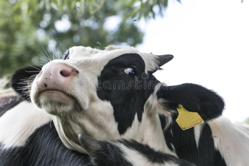 Fliegen nehmen die Kühe, sie nahmen ihren Kopf in Angriff lizenzfreie stockfotografie