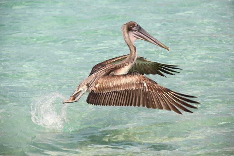 Fliegen pelikan stockfotos