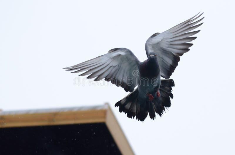 Fliegen pidgeon mit den Flügeln ausgestreckt lizenzfreie stockfotos