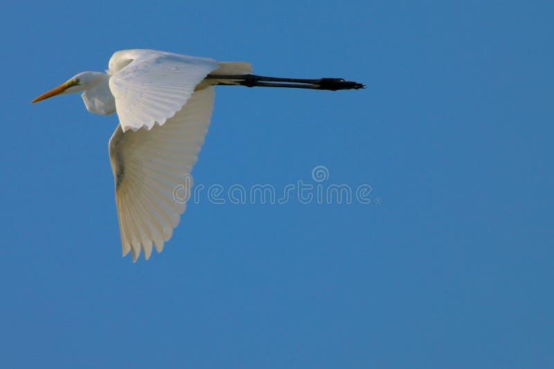Fliegen-Reiher stockbild