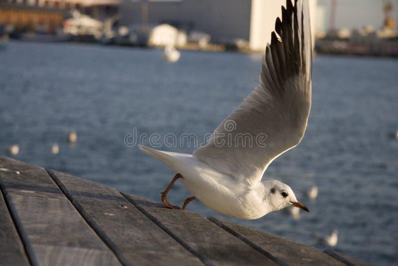 Fliegen Seagul lizenzfreie stockfotografie