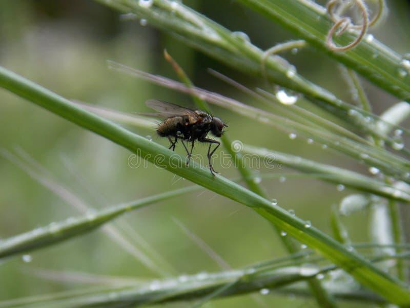 Fliegen Sie auf das Gras und die Tropfen des Regens stockbild