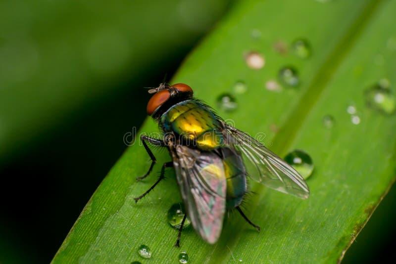 Fliegen Sie und wässern Sie Tropfen auf einem grünen Blatt lizenzfreie stockfotografie