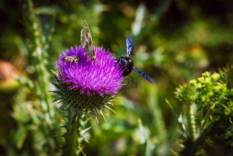 fliegen Sie von der Blume, um seltenen Blütenstaub zu blühen und zu sammeln stockfoto