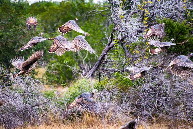 Fliegen Texas Turkeys stockfotos