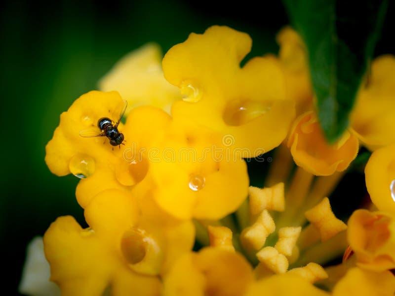Fliegen-und Regen-Tropfen gehockt auf gelben Hecken-Blumen lizenzfreie stockbilder