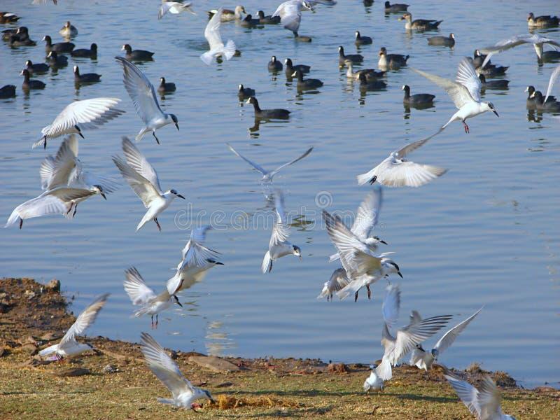 Fliegen-Weißbartseeschwalben am Randarda See, Rajkot stockfotografie