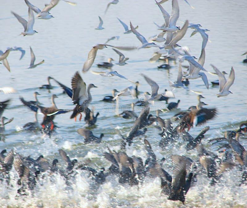 Fliegen-Weißbartseeschwalben am Randarda See, Rajkot lizenzfreies stockbild