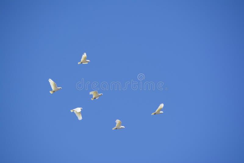 Fliegen wenig Corella, Melrose, Süd-Australien lizenzfreie stockfotografie