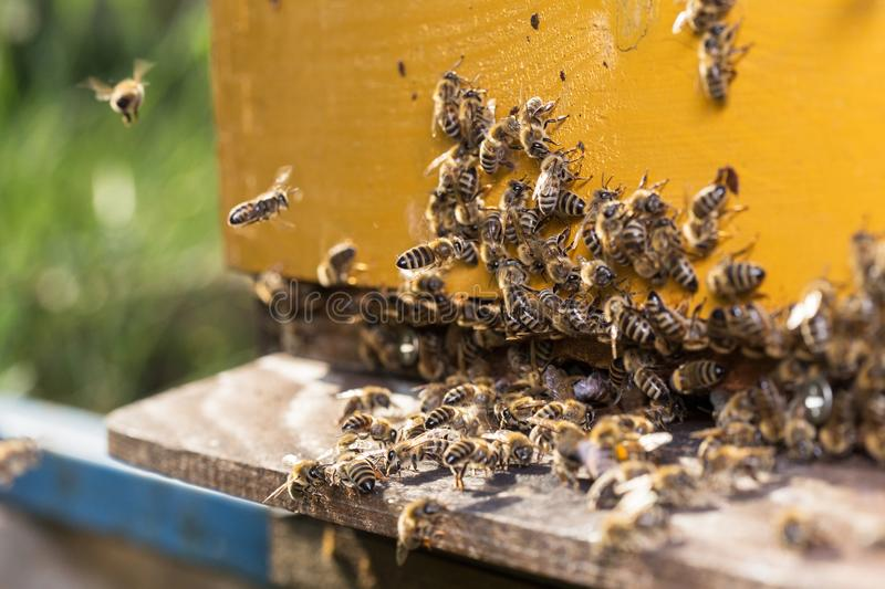 Fliegenbienen lizenzfreie stockfotos