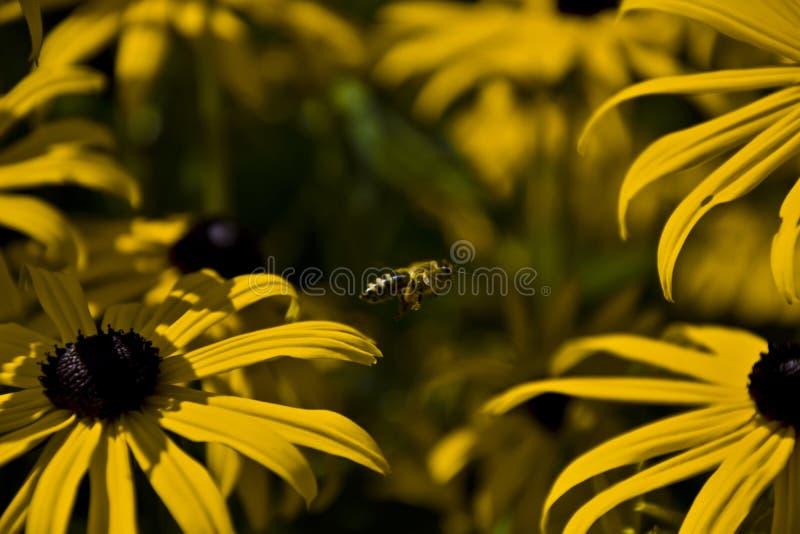 Fliegende Biene stock foto